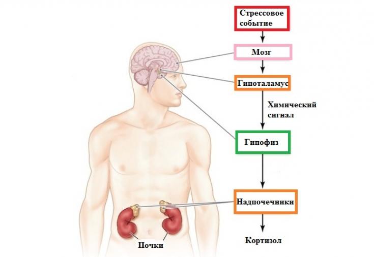 Избыток кортизола: «гусиные лапки» на лице и жирок на животе ...