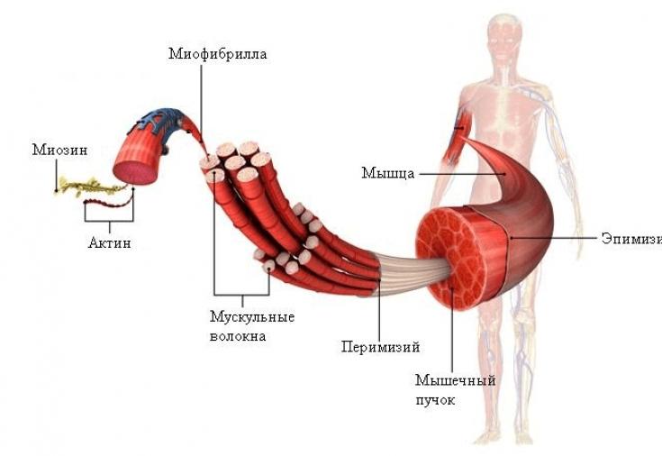 От чего растут мышцы? Факторы роста [Часть №1. Общая]