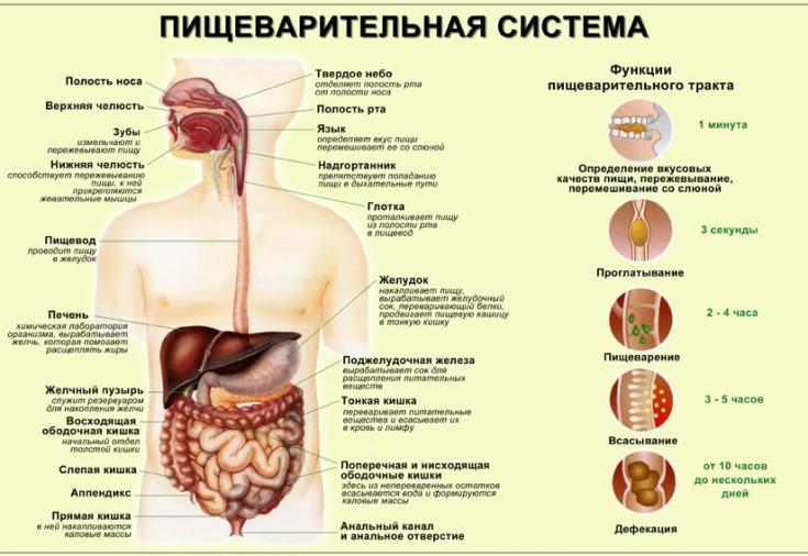 Сколько времени пища находится в кишечнике