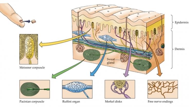 Полиморфия чувств: как работают рецепторы кожи