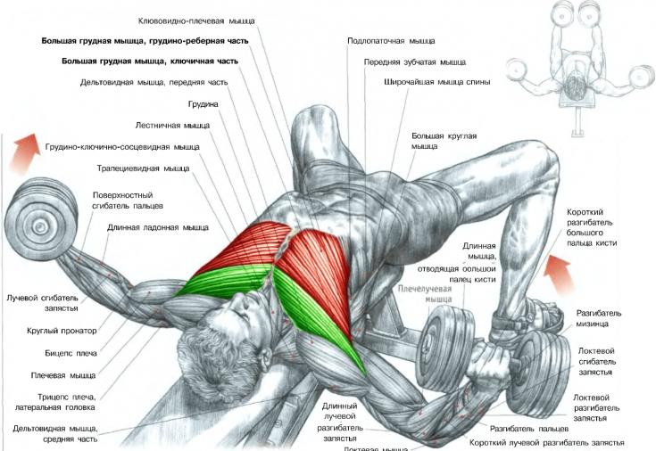 Как сделать так чтобы грудные мышцы