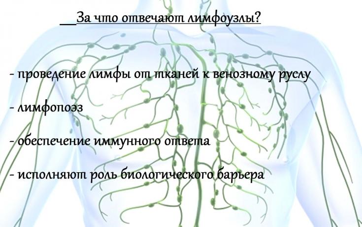 Оказывается, мы практически ничего не знаем о лимфатической.