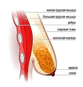 anatomiya-molochnoj-zhelezy-chto-kazhdaya-zhenshchina-dolzhna-znat-o-sobstvennoj-grudi