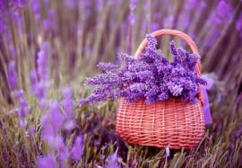 7 полезных свойств лаванды для красоты и здоровья