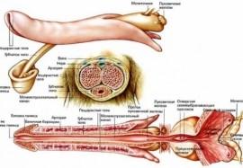 Изменения и болезни пениса