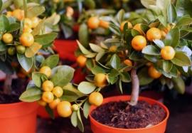 Как вырастить мандарин в домашних условиях из косточки: 5 простых шагов