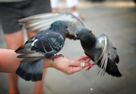 Опасные городские голуби: принципы диагностики и лечения орнитоза